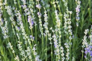 http://www.dreamstime.com/royalty-free-stock-images-alpine-slide-lavender-flowers-hills-meadow-grasses-strongly-fragrant-shrub-blue-deep-blue-image44693159