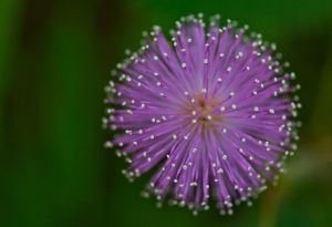 http://www.dreamstime.com/royalty-free-stock-photography-mimosa-pudica-flower-closeup-nature-image41855027