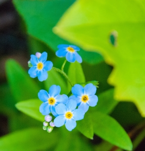 http://www.dreamstime.com/stock-photography-forget-me-not-flowers-alaska-image45251382