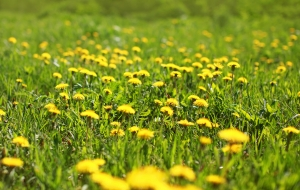 http://www.dreamstime.com/royalty-free-stock-images-sunny-spring-background-field-yellow-dandelions-season-image44704359
