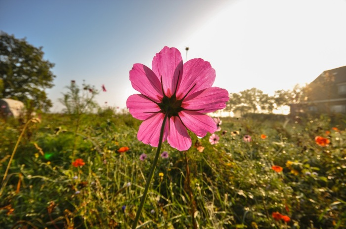 field-meadow-flower-pink